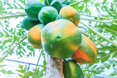 Papaya on the papaya tree — Stock Photo