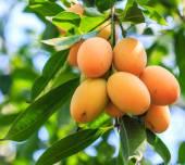 Mayongchid Maprang Marian Plum and Plum Mango — Stock Photo