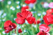 Poppies background — Stock Photo