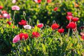 Poppies background — Stock Photo