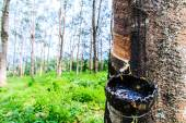 Tapping latex from a rubber tree — Stock Photo