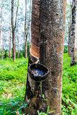 Lateks kauçuk ağacı üzerinden dokunarak — Stok fotoğraf