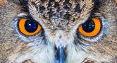Eagle Owl (Eurasian eagle owl) — Stock Photo