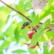 Beautiful coppersmith barbet — Stock Photo #56121497