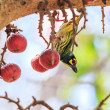 Beautiful coppersmith barbet — Stock Photo #56121709