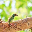 Beautiful coppersmith barbet — Stock Photo #56133303