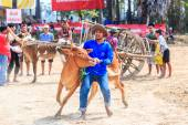 143rd Cow Racing Festival — Stockfoto