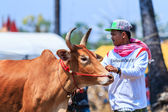 143rd Cow Racing Festival — Stock Photo