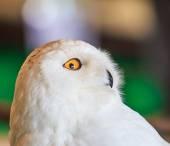 シロフクロウ - 横痃 scandiacus — ストック写真