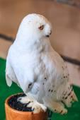 Snowy Owl - Bubo scandiacus — Stock Photo