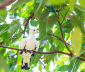 Pied lmperial pigeon ducula bicolor — Stock Photo