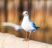 Seagull is a bird migration — ストック写真