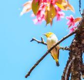 Bird on Cherry Blossom — ストック写真