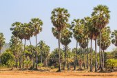 Sugar palms tree — Stock Photo