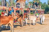 Annual fair beautiful cow contest — Stock Photo