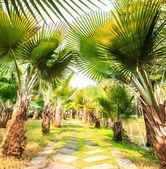 Palm Plantation and way — ストック写真