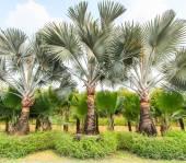 Palm Plantation and way — Foto de Stock