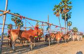 Annual fair beautiful cow contes — Stock Photo