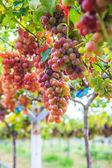 Vineyard Bunch of grapes — Stockfoto