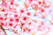 Sfondo fiori di Sakura — Foto Stock