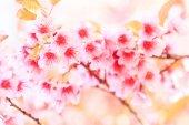 Sakura bloemen achtergrond — Stockfoto