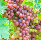 Vineyard Bunch of grapes — ストック写真