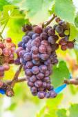 Cacho de vinhedo de uvas — Fotografia Stock