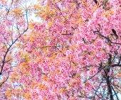 Třešňový květ — Stock fotografie