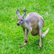 Kangaroo on green grass — Stock Photo #64488639