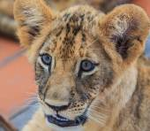 Cute Lion cub — Stock Photo