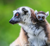 Ring-tailed lemurs animals — Stock Photo