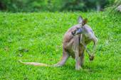 Kangaroo on green grass — Stock Photo