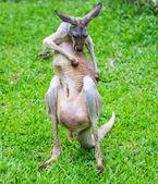 Kanguru yeşil çimenlerin üzerinde — Stok fotoğraf