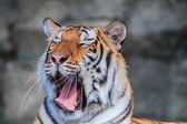 Orange tiger in jungle — 图库照片