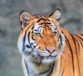 Orange Tiger im Dschungel — Stockfoto