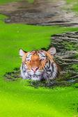 Pomarańczowy Tygrys w wodzie — Zdjęcie stockowe