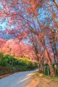 Sakura in Chiang Mai Thailand — Stock Photo