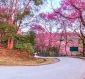 Sakura in Chiang Mai Thailand — Foto de Stock