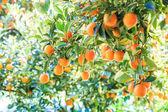 Orange tree in Farm — Stock Photo