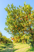 Orange trees in  Farm — Stock Photo