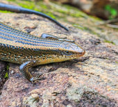 Skink at Doi Inthanon in  Thailand — Stock Photo