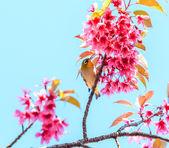 Bird on Cherry Blossom tree — Stock Photo