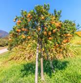 Orange tree  on Farm — Stock Photo
