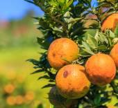 Albero arancione in fattoria — Foto Stock
