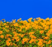 Beautiful Mexican sunflowers — Stock Photo