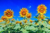 咲くひまわり畑 — ストック写真