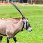 Gemsbok antelope  on green grass — Stock Photo #66038303