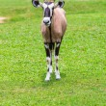Gemsbok antelope  on green grass — Stock Photo #66038755
