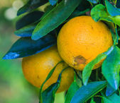 Orange tree on Farm — Stock Photo