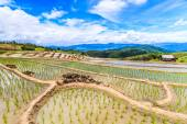 Rice fields at Pa Pong Peang — Stock Photo